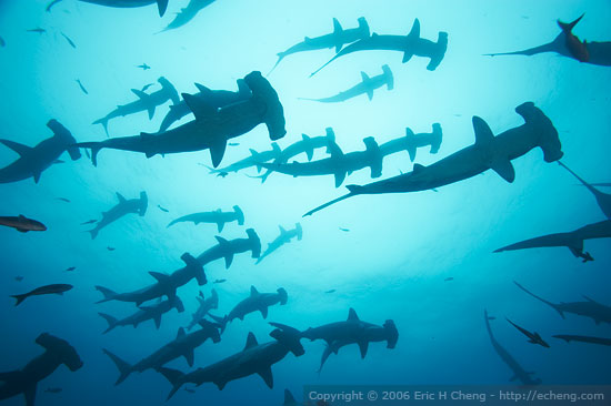 Hammerhead shoal at Cocos