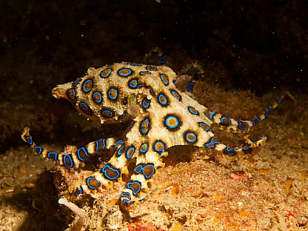 Blue ring octopus at Asia Divers in the Philipines