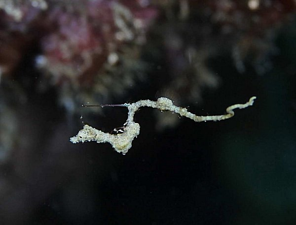 Lembeh sea dragon found in Puerto Galera