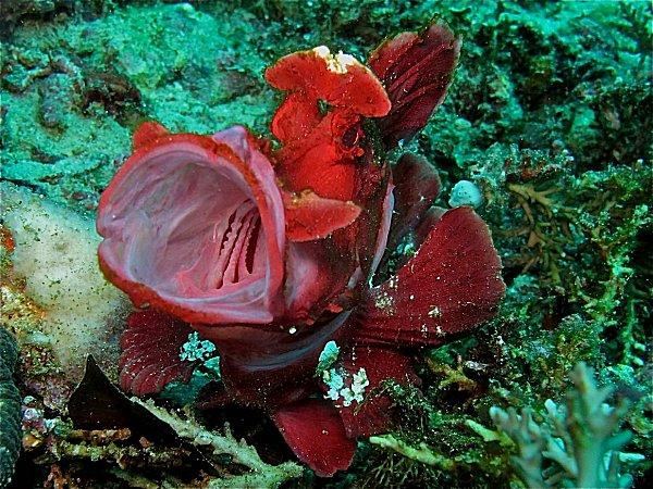 Colourful Rhinopia in water off Puerto Galera