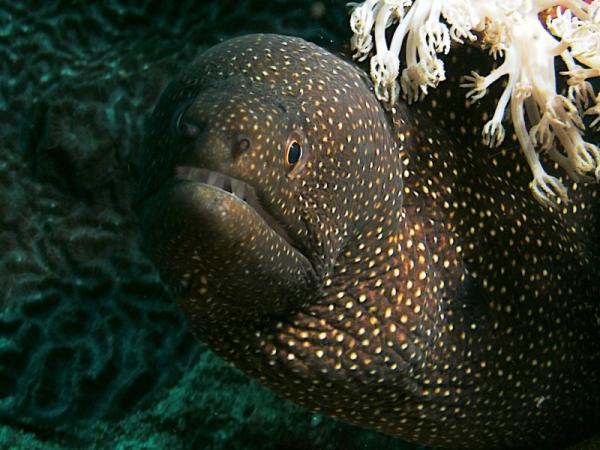 Moray Eel at Asia Divers